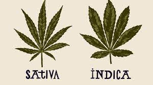 Sativa or Indica For Anxiety