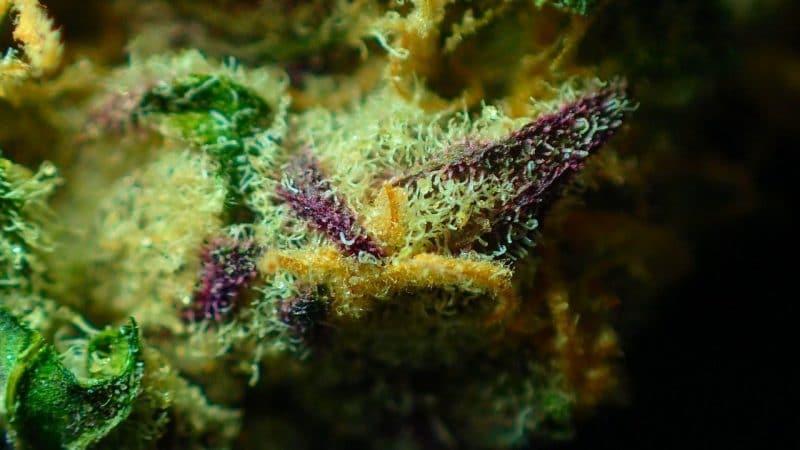 Aroma, Flavor, And Appearance of GodfatherOG Seeds